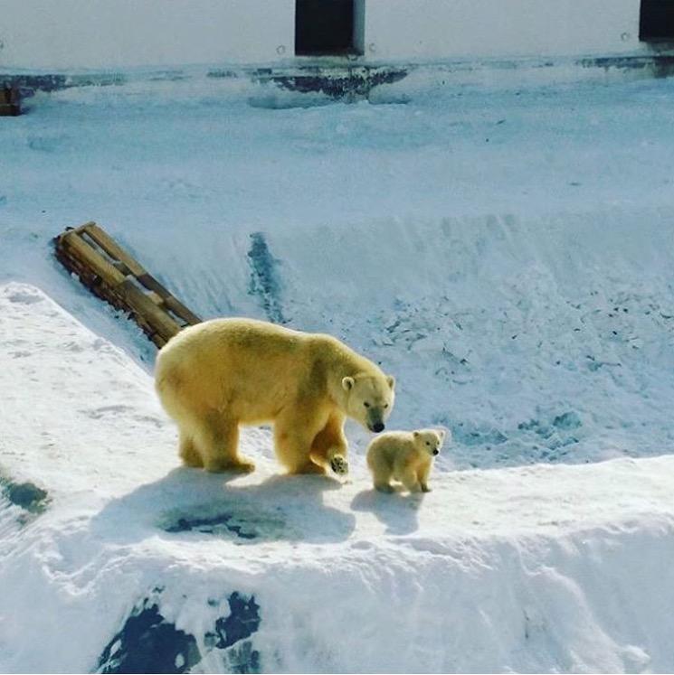 Фотофакт: Медвежонок Колыманы и Ломоносова вышел на прогулку