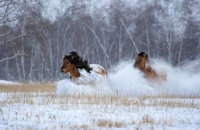 В Хангаласском улусе злоумышленники забили двух лошадей