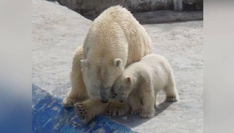 Маленькую медведицу из «Орто Дойду» назвали Хаарчааной