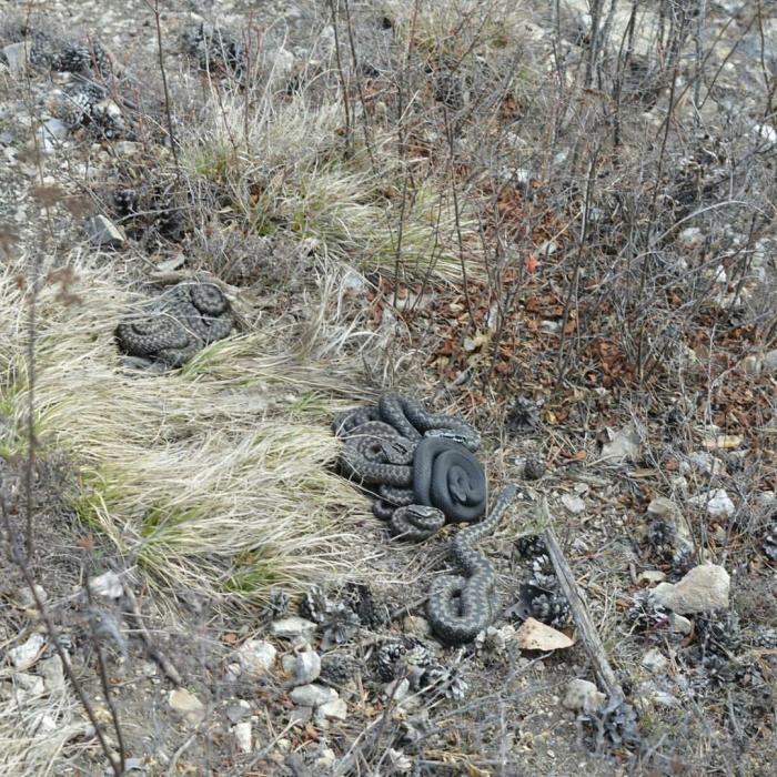 В Якутии после зимней спячки проснулись ядовитые змеи