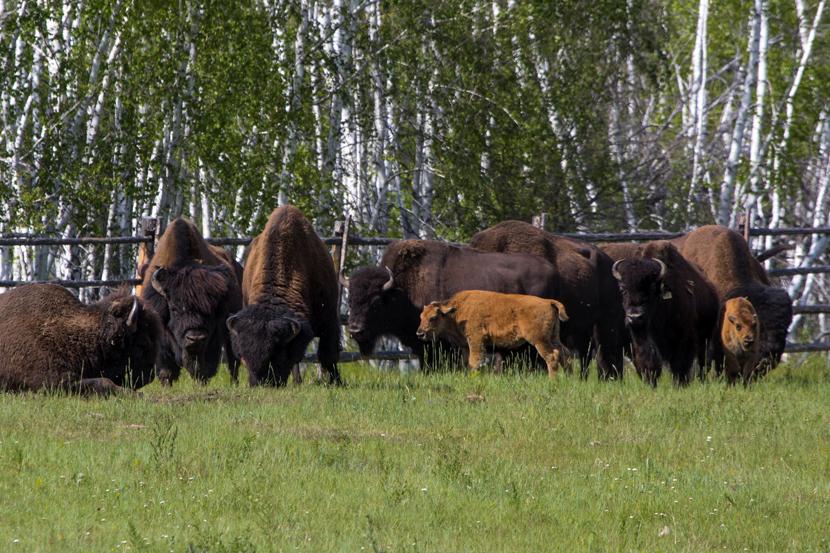 Получено разрешение Росприроднадзора на выпуск лесных бизонов в естественную среду обитания