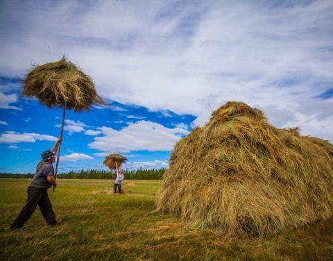 Минсельхоз Якутии определило районы-лидеры по заготовке сена в 2017 году