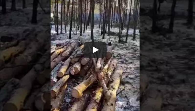 Видеофакт: вырубка леса по Сергеляхскому шоссе