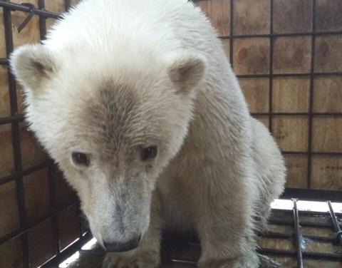 Подробности о белом медвежонке из Среднеколымска