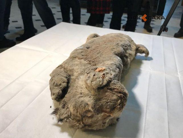 Ученые не исключают вероятность клонирования пещерного льва, найденного в Якутии