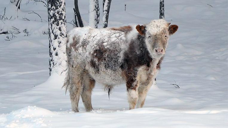 Уникального бычка будут наблюдать ученые из Якутска