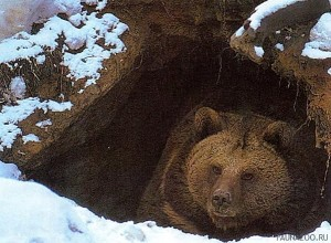 Охота на медведя в Якутии закончилась необъяснимой трагедией