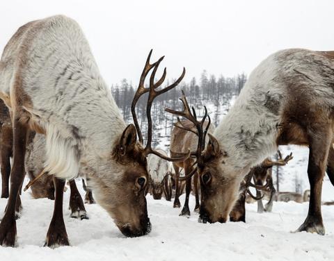 Якутия и Квебек создадут научный центр по изучению оленеводства