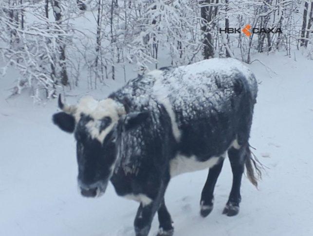 В Усть-Алданском улусе Якутии еще девять коров захотели перезимовать под открытым небом
