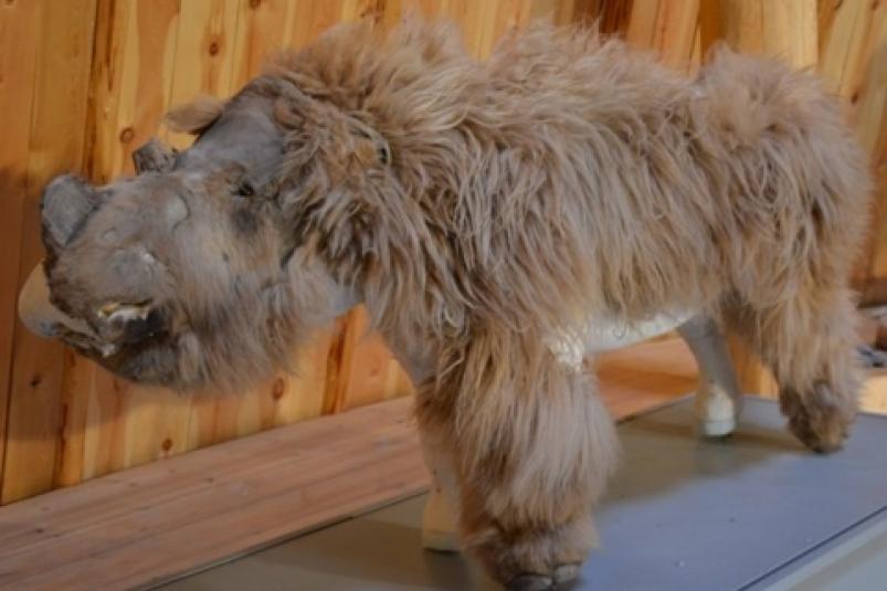 Якутянин отдал мошенникам рога шерстистого носорога стоимостью более 1 млн рублей