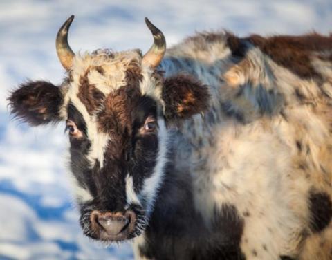 Исчезающую якутскую корову сохранят с помощью генофондов