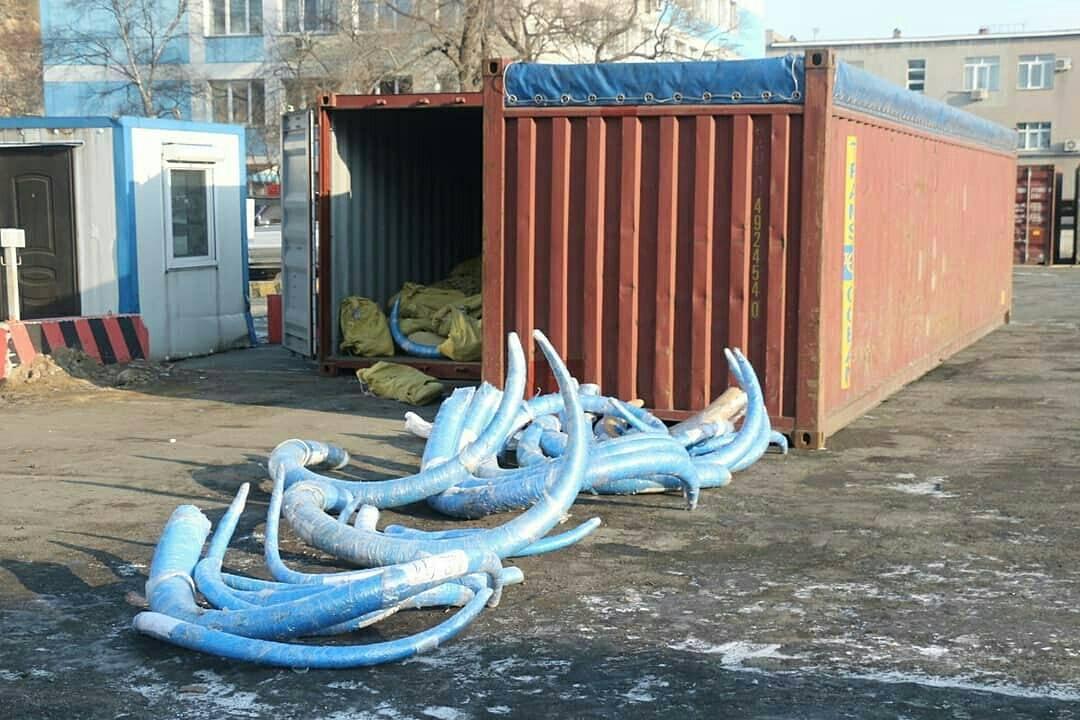 В Приморье задержали крупнейшую в своей практике партию бивней мамонта из Якутии