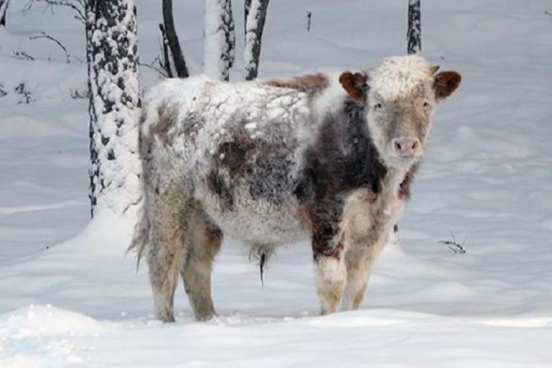 У упрямого бычка из Якутии появилась своя страничка в Instagram
