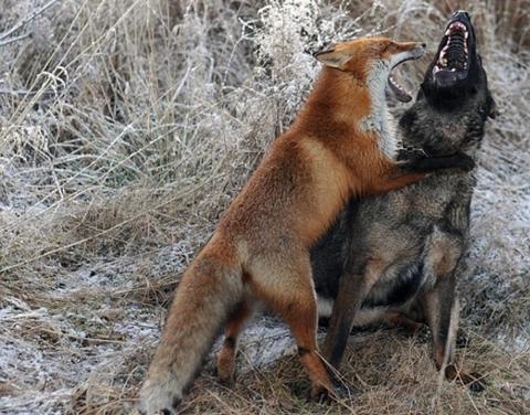 Предварительно зафиксированы случаи бешенства среди животных