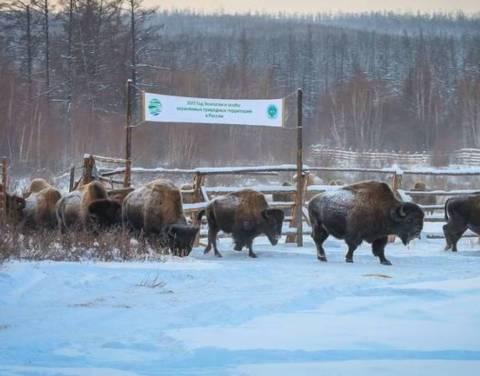 Якутия предлагает включить лесных бизонов в Красную книгу России