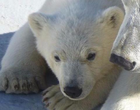 Якутский белый медвежонок Хаарчаана открыла купальный сезон ВИДЕО