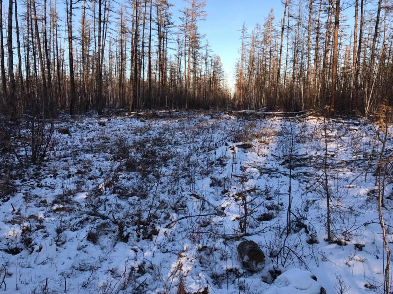 В Якутии направлено в суд уголовное дело о незаконной вырубке лесных насаждений в Горном районе