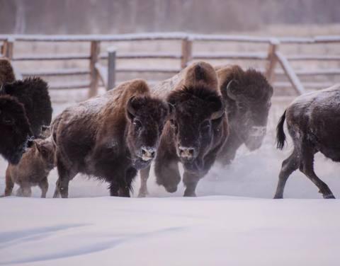 В Якутии готовятся выпустить вторую партию лесных бизонов