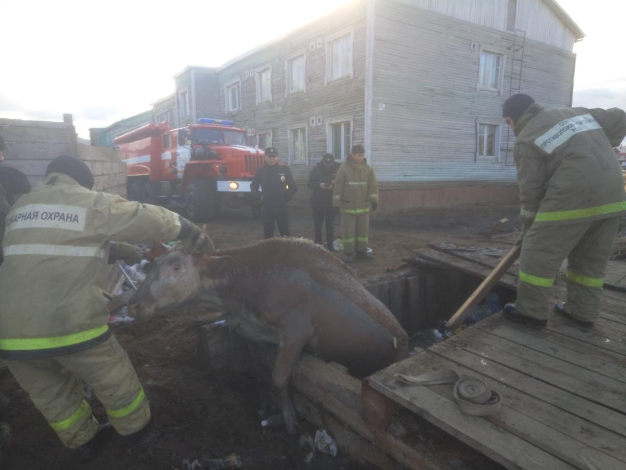 Пожарные села Сунтар вытащили корову из помойной ямы