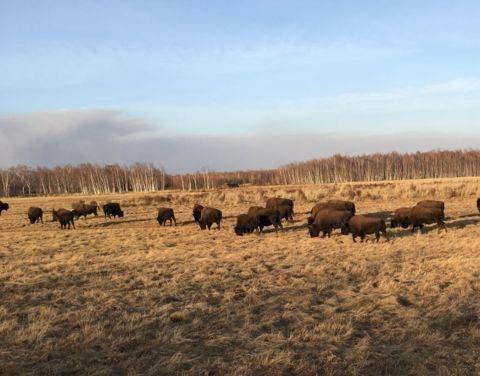 Выпущенные на территории парка «Синяя» в Якутии лесные бизоны дали потомство