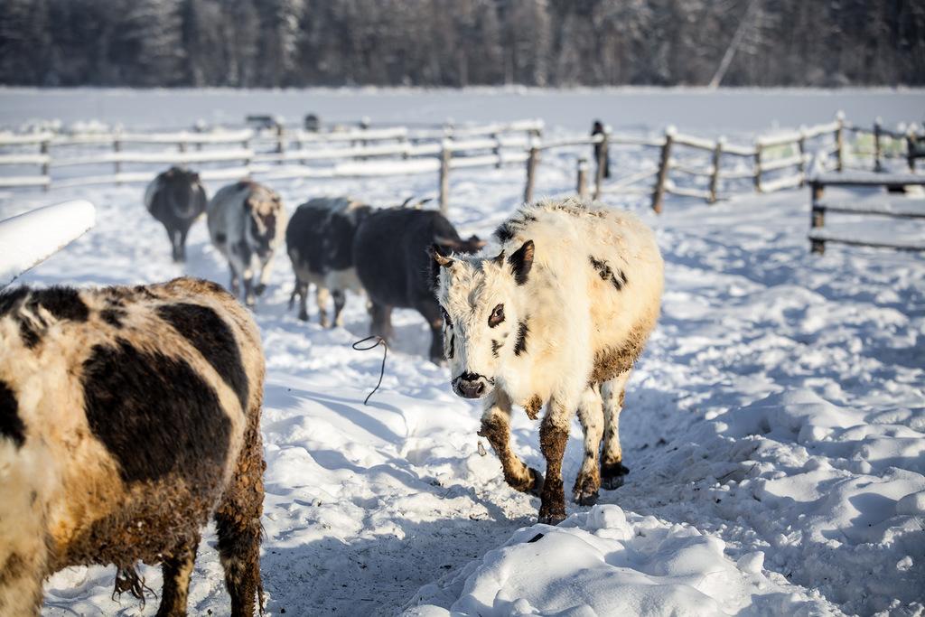 В Якутии достигнут лучший показатель по среднему удою на одну корову
