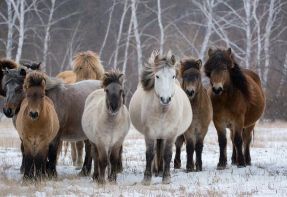 За последние 18 лет поголовье лошадей в Якутии увеличилось на 51 тысячу