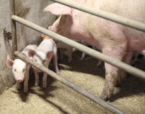 Хатасский свинокомплекс: «Работаем на повышение количества и качества продукции»