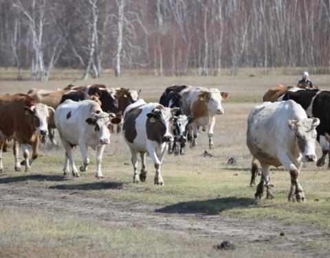 Более 36 тысяч голов крупного рогатого скота переведут в сайылыки