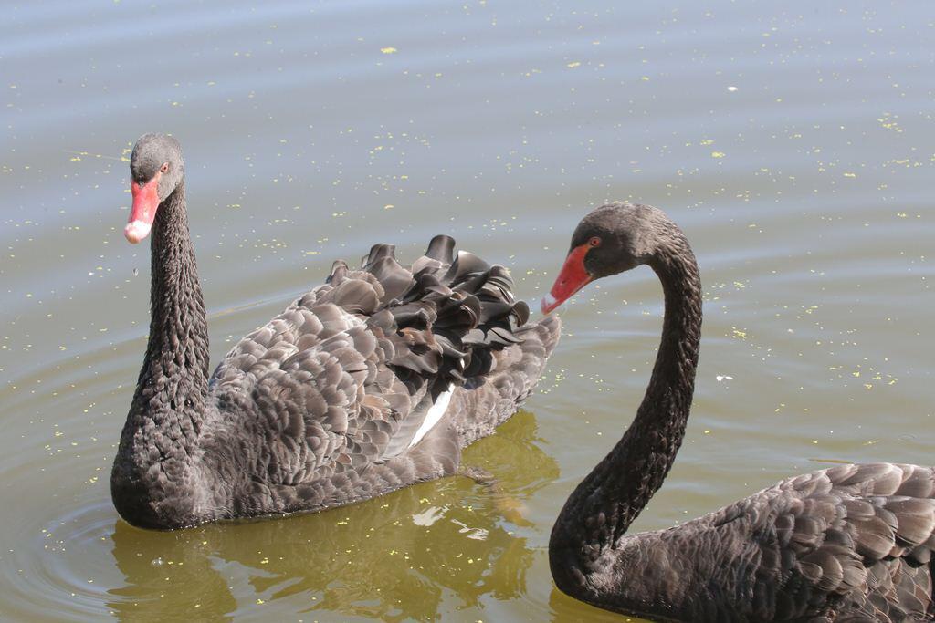 Черные лебеди украсили озеро Щорс благодаря АО НК «Туймаада-нефть»