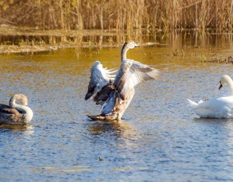 Якутские орнитологи снабдят GPS-трекерами более 80 гусей и лебедей