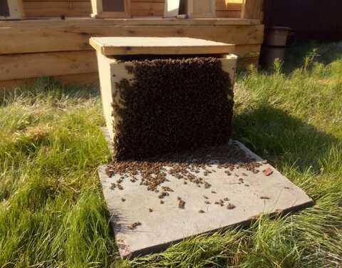 В Верхоянском улусе начали практиковать разведение пчел