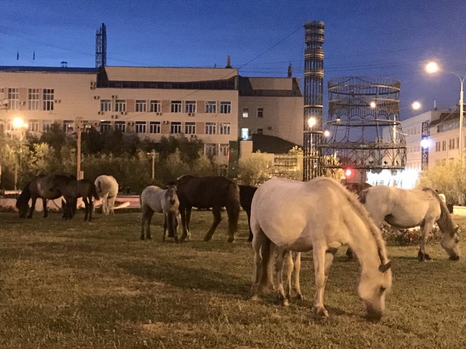 Управление сельского хозяйства г. Якутска выявляет и устанавливает хозяев безнадзорных лошадей