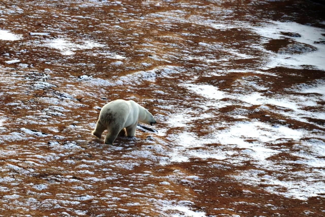 «Полярные авиалинии» обеспечили авиамониторинг популяции белых медведей