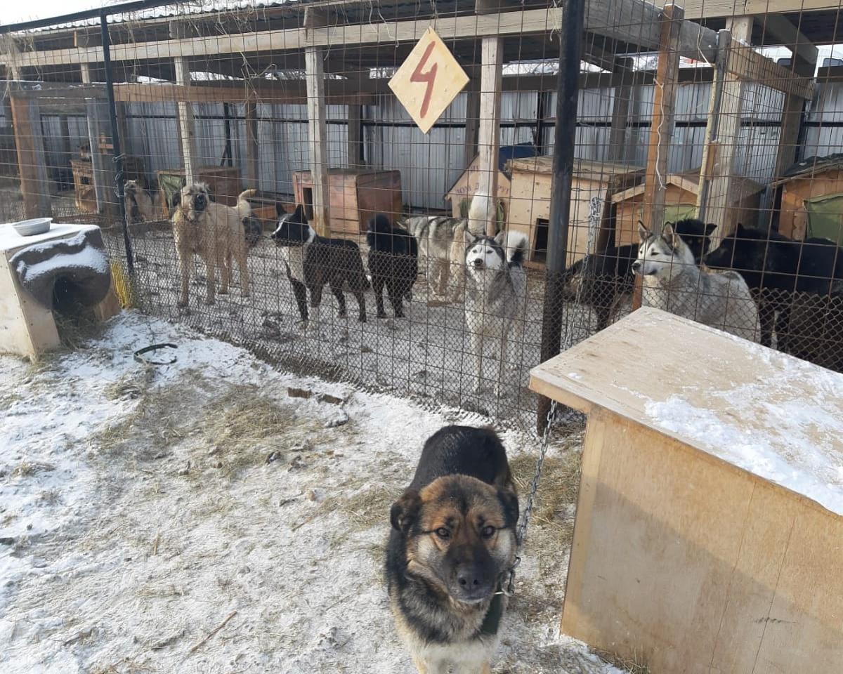 Власти Якутска предпримут дополнительные меры по отлову и содержанию безнадзорных животных