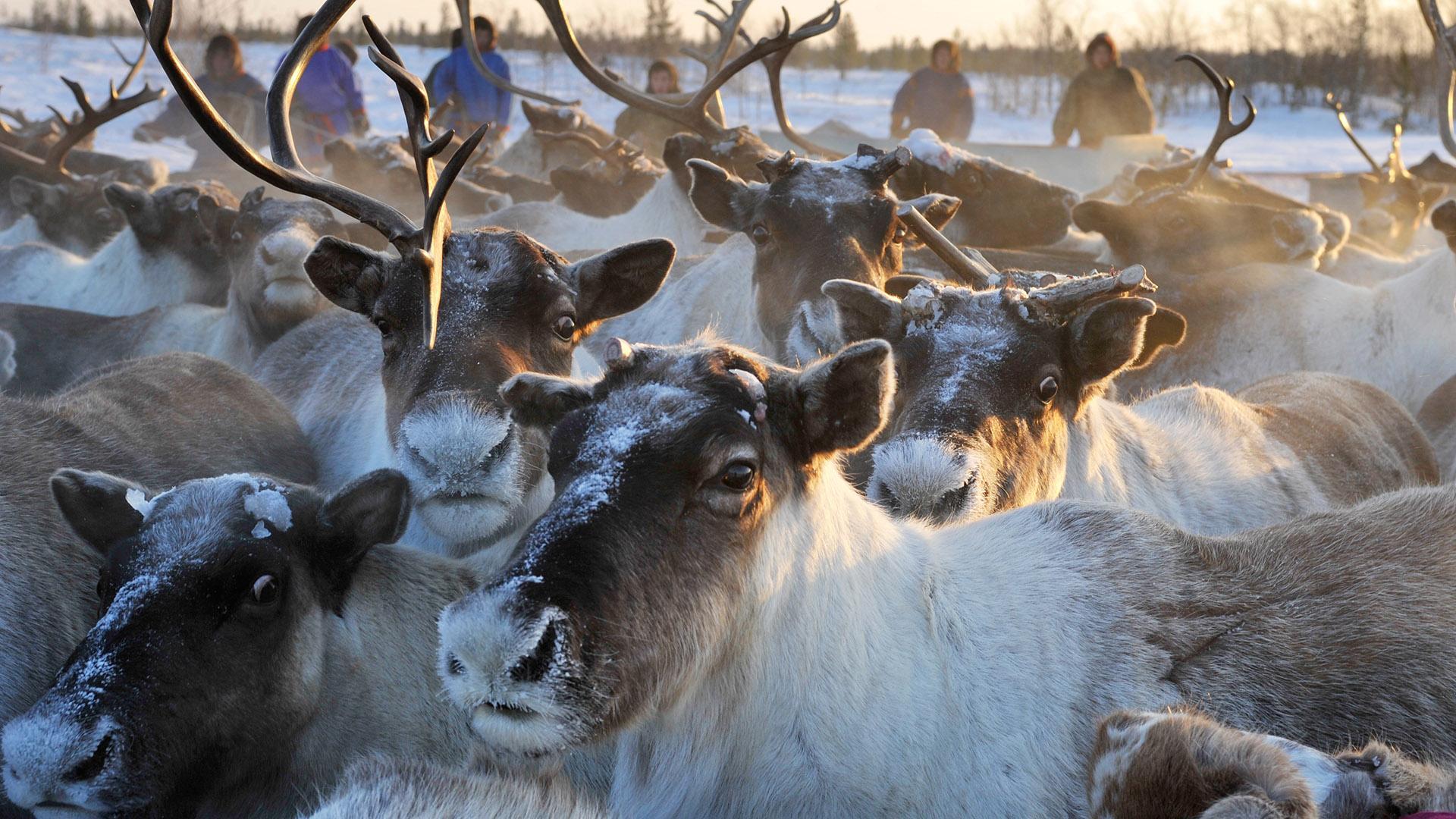 Власти Якутии увеличат поддержку оленеводства более чем на 5%