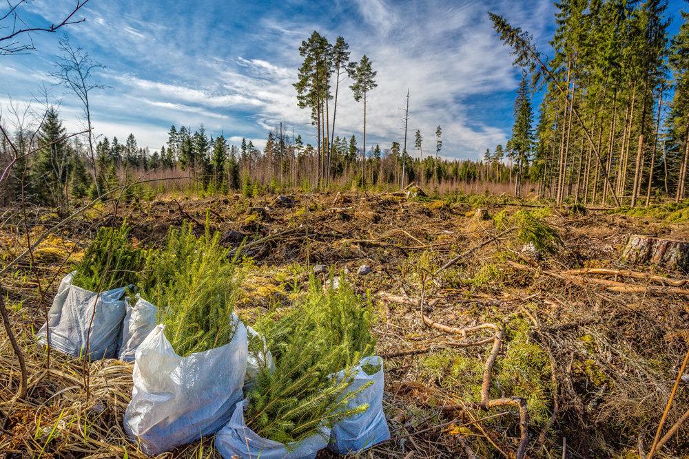 Якутия стала лидером на Дальнем Востоке по восстановлению лесов