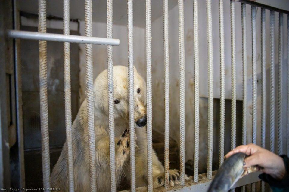 Белого медведя, пойманного в Якутии, вывезут сегодня в Москву