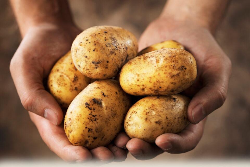 Россельхознадзор проконтролировал ввоз в Якутию более 1200 тонн продовольственного картофеля