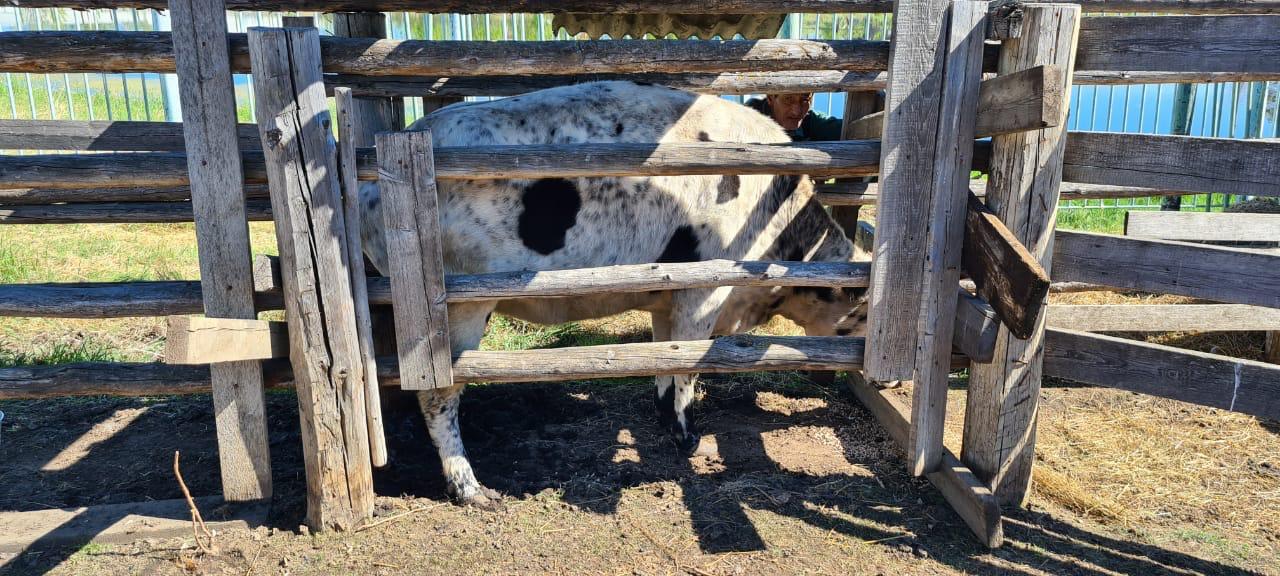 Якутская корова может стать брендом республики