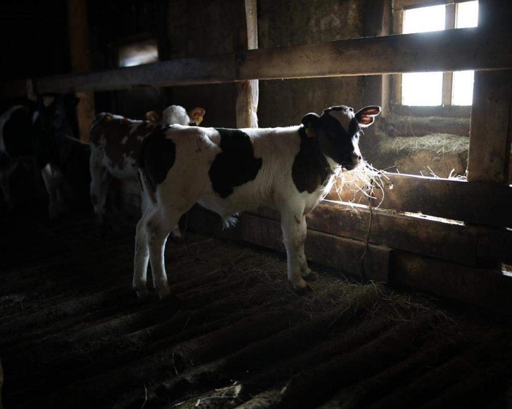 Животноводческие хозяйства столицы получили республиканскую субсидию