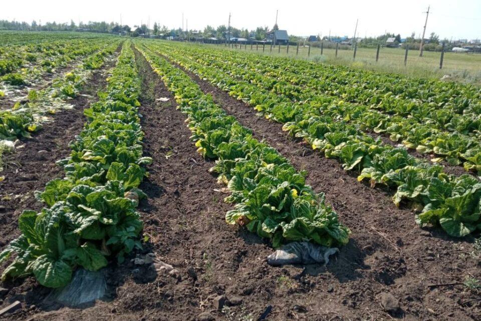 Овощеводам и производителям зерновых культур Якутска выделили свыше 20 млн рублей