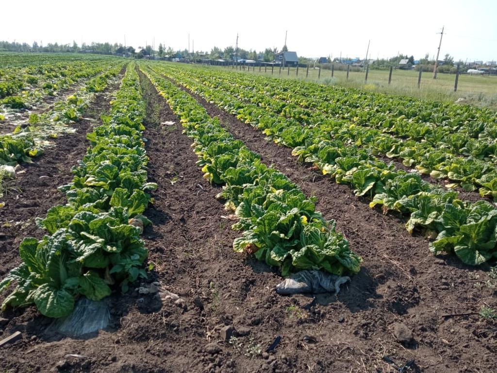Картофелеводам, овощеводам и производителям зерновых культур Якутска выделено свыше 20 миллионов