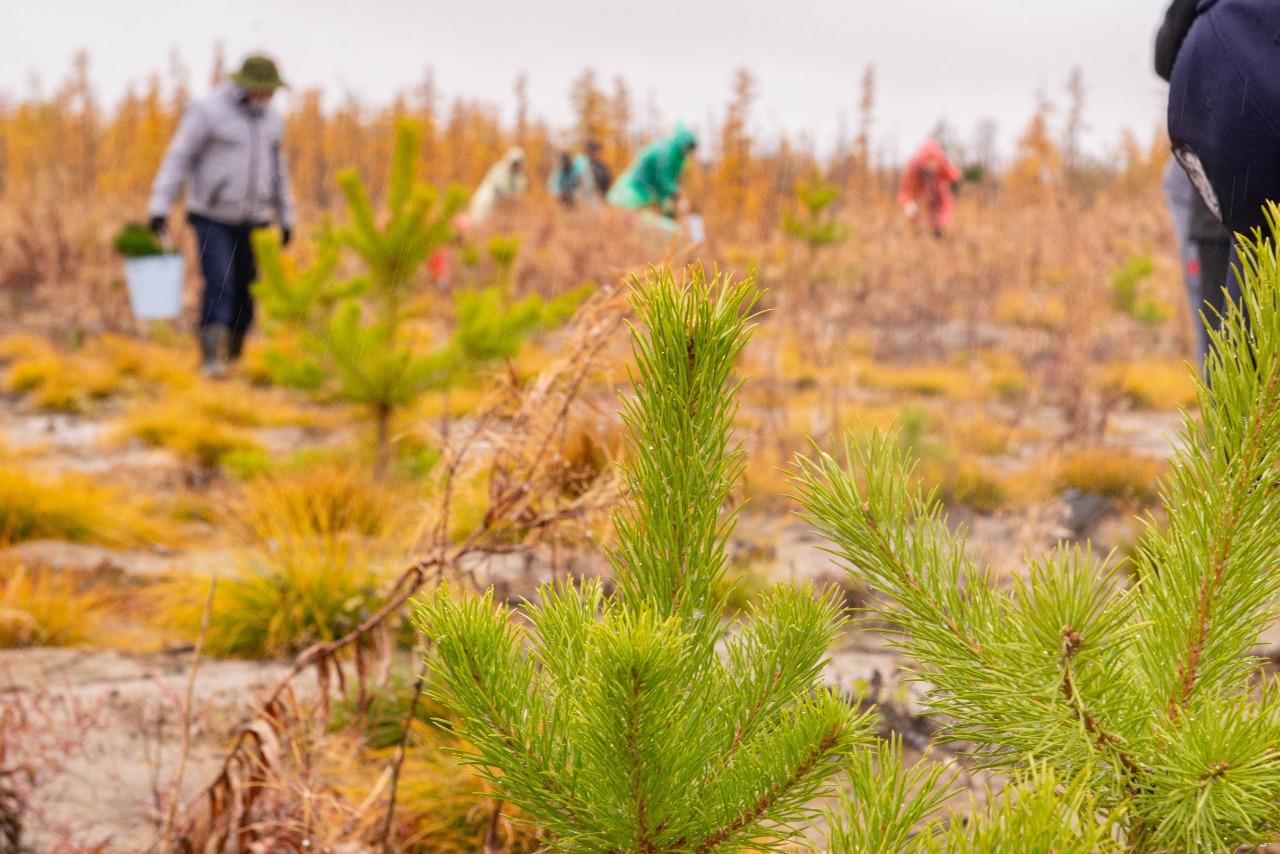 Накануне Дня работников леса сотрудники и студенты АГАТУ высадили сеянцы сосны