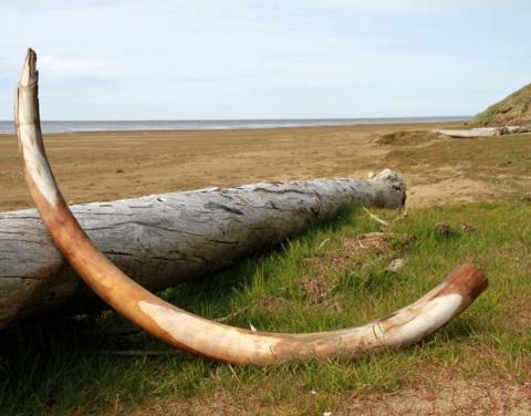 Власти Якутии намерены поэтапно реформировать добычу и переработку бивней мамонта