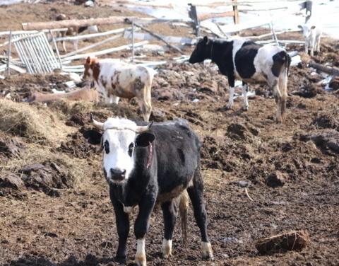 Готовность к безопасному паводку в Якутии: обследовано 93 временных пунктов содержания скота