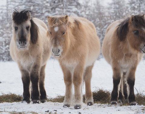 В Якутии одиннадцать тысяч лошадей поставлены на подкормку