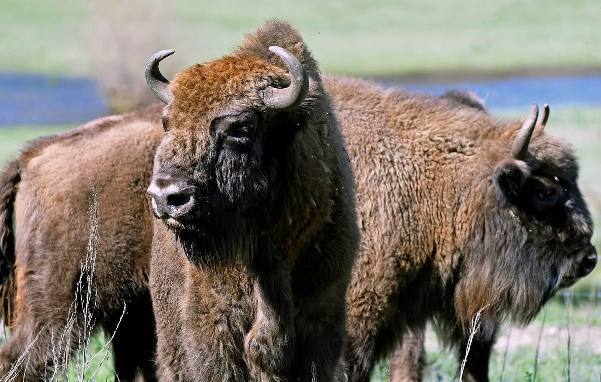 Нужен ли якутской экосистеме бизон?