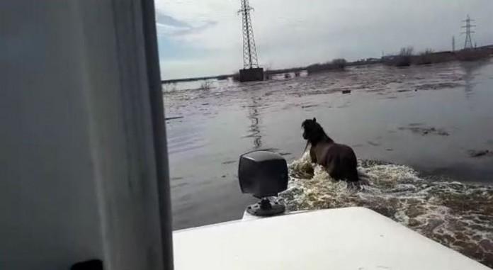 В Якутске спасатели вывели с затопляемого острова лошадь