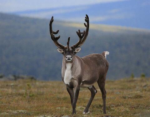 Минприроды России поддержит Якутию в проведении авиаучета диких северных оленей