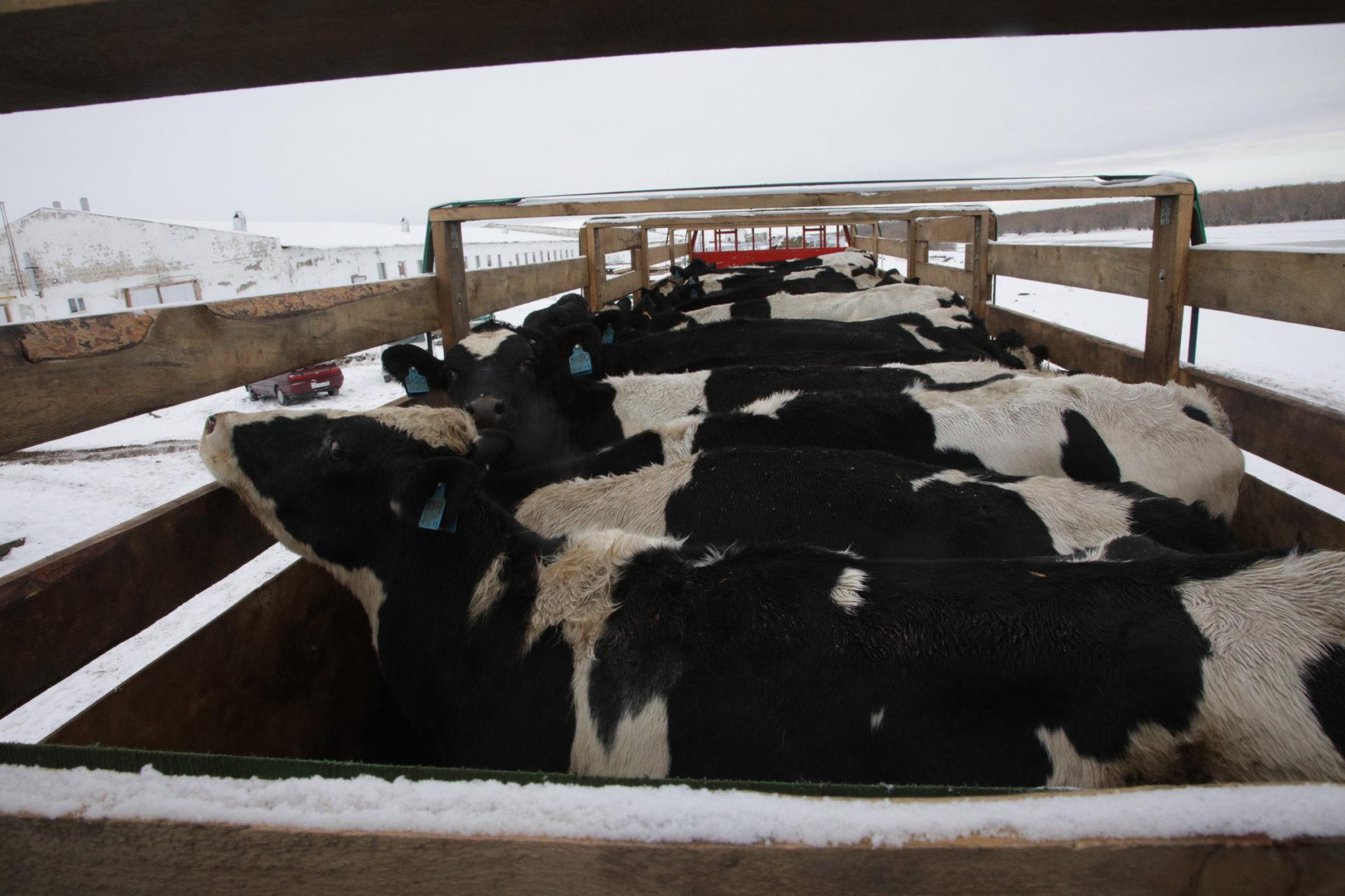 В Хатассы привезли 100 коров холмогорской породы
